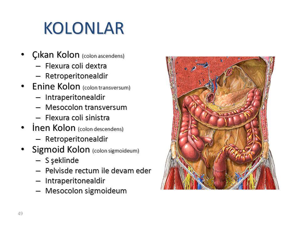 KOLONLAR Çıkan Kolon (colon ascendens) Enine Kolon (colon transversum)