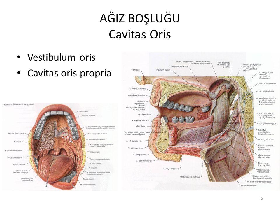 AĞIZ BOŞLUĞU Cavitas Oris