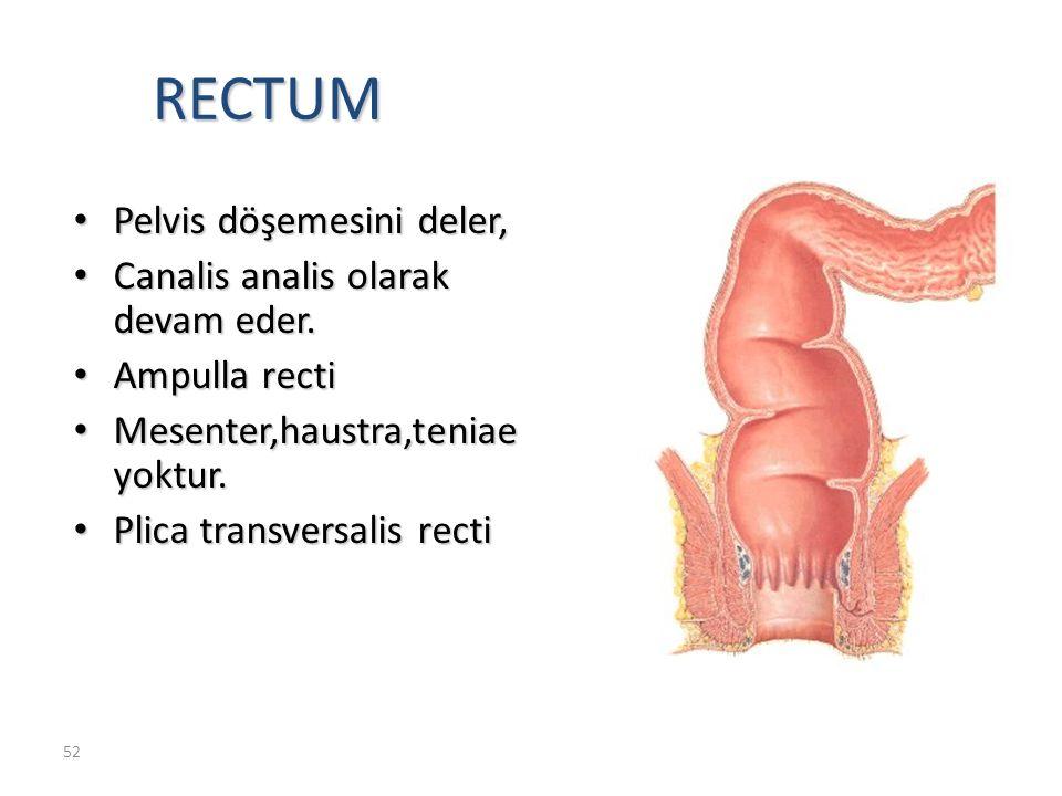 RECTUM Pelvis döşemesini deler, Canalis analis olarak devam eder.