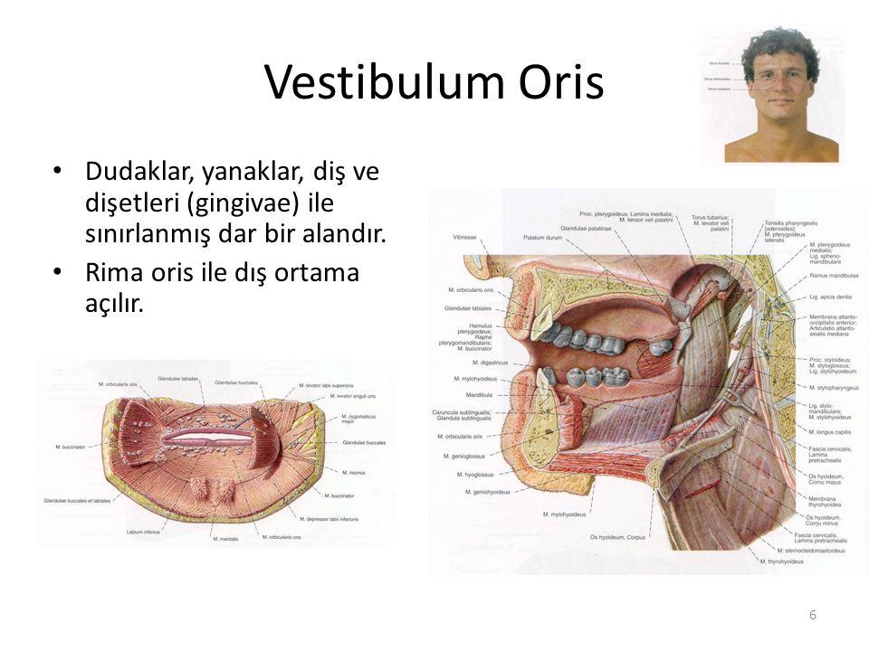 Vestibulum Oris Dudaklar, yanaklar, diş ve dişetleri (gingivae) ile sınırlanmış dar bir alandır. Rima oris ile dış ortama açılır.