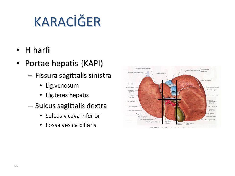 KARACİĞER H harfi Portae hepatis (KAPI) Fissura sagittalis sinistra