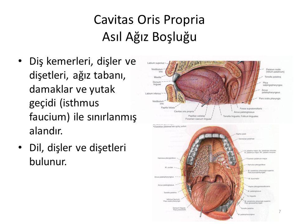 Cavitas Oris Propria Asıl Ağız Boşluğu