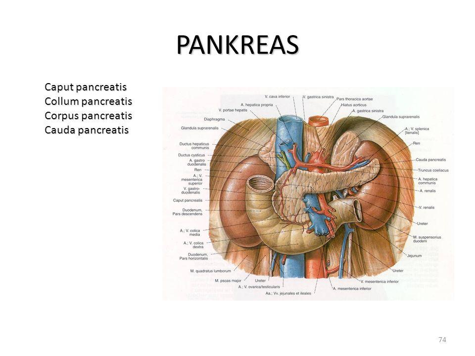 PANKREAS Caput pancreatis Collum pancreatis Corpus pancreatis