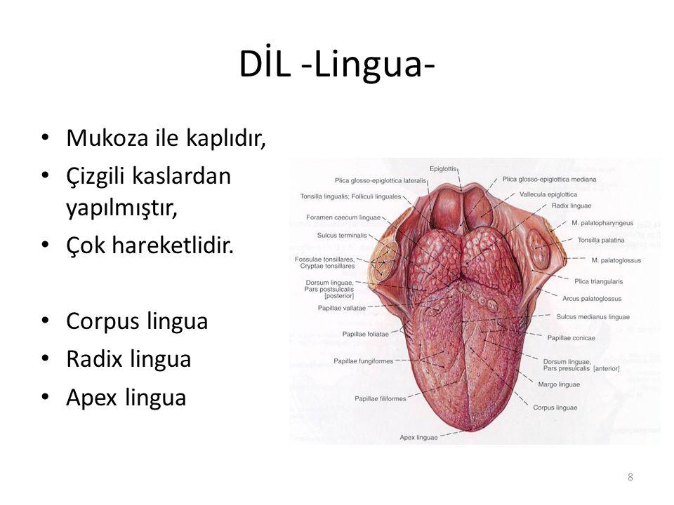 DİL -Lingua- Mukoza ile kaplıdır, Çizgili kaslardan yapılmıştır,