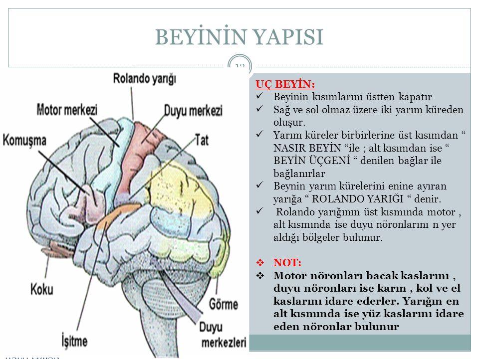 BEYİNİN YAPISI UÇ BEYİN: Beyinin kısımlarını üstten kapatır