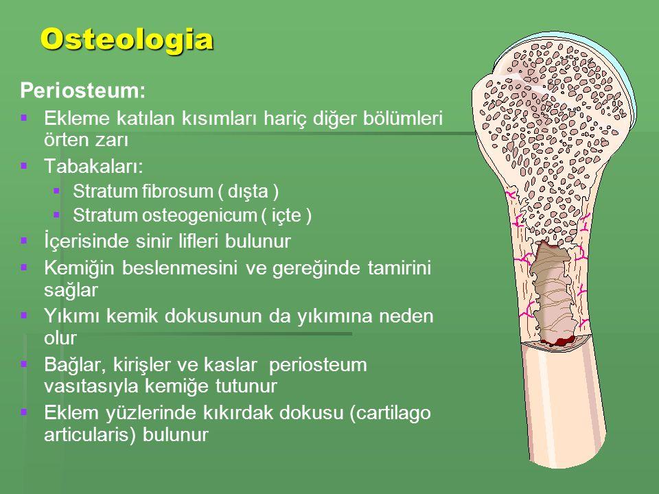 Osteologia Periosteum: