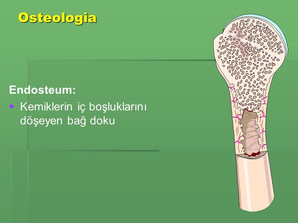 Osteologia Endosteum: Kemiklerin iç boşluklarını döşeyen bağ doku