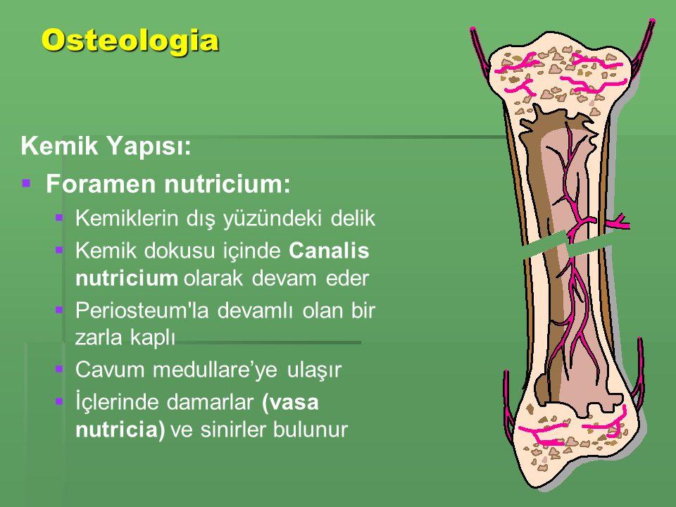 Osteologia Kemik Yapısı: Foramen nutricium: