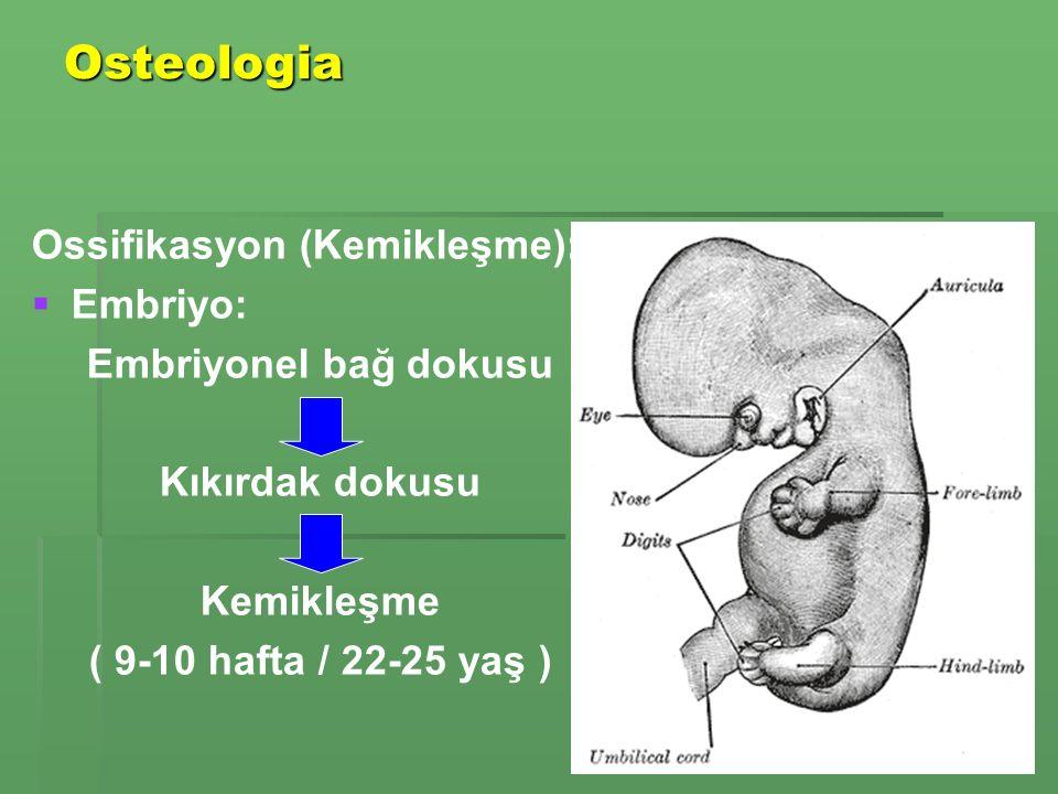 Osteologia Ossifikasyon (Kemikleşme): Embriyo: Embriyonel bağ dokusu