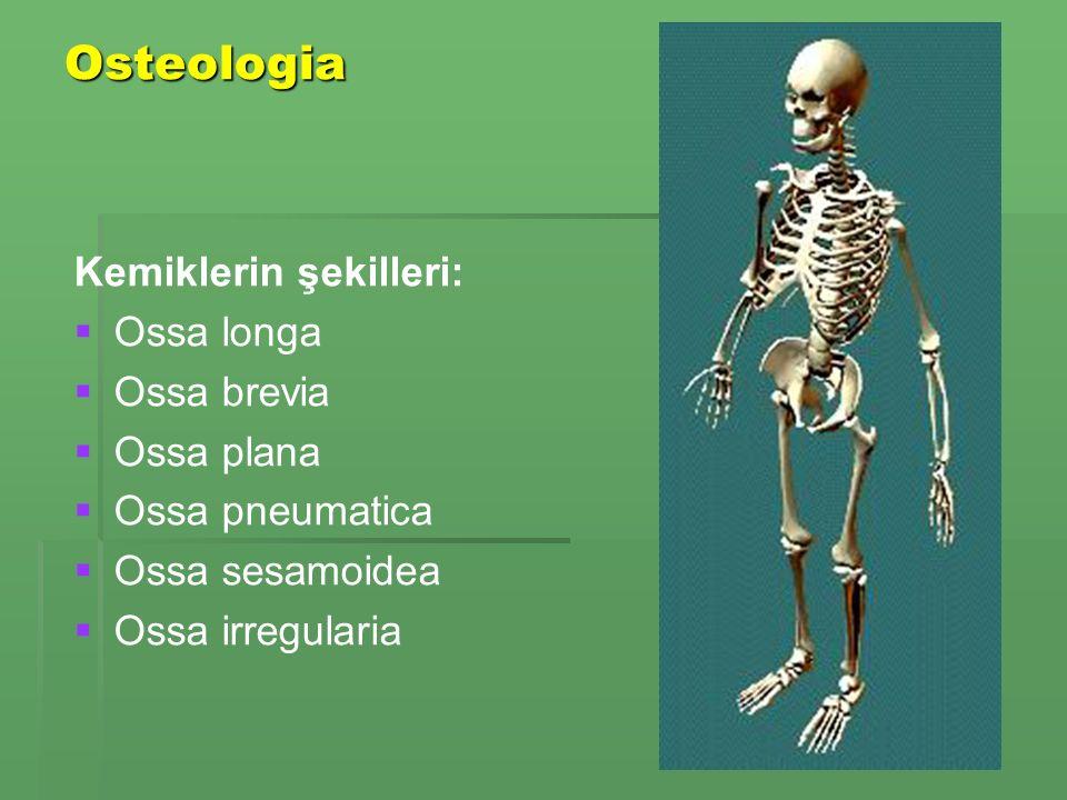 Osteologia Kemiklerin şekilleri: Ossa longa Ossa brevia Ossa plana