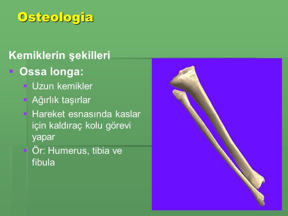 Osteologia Kemiklerin şekilleri Ossa longa: Uzun kemikler