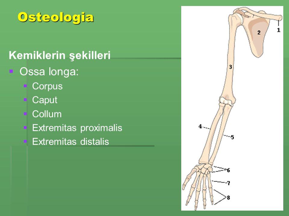 Osteologia Kemiklerin şekilleri Ossa longa: Corpus Caput Collum