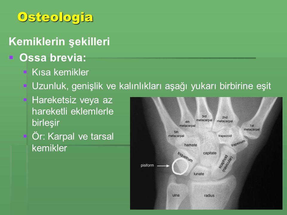 Osteologia Kemiklerin şekilleri Ossa brevia: Kısa kemikler