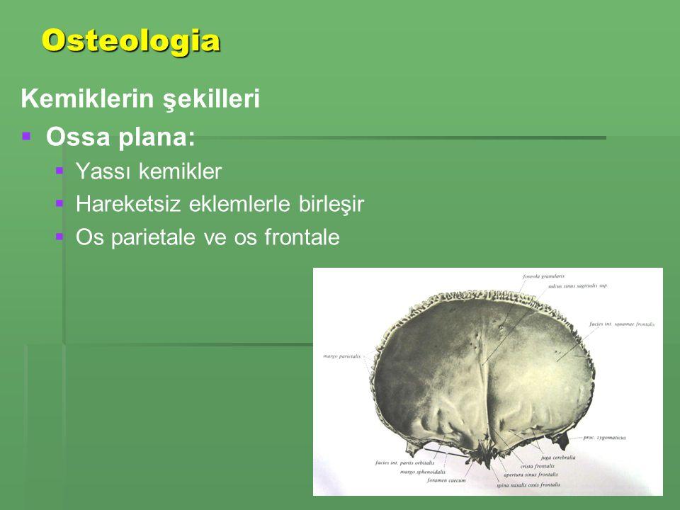 Osteologia Kemiklerin şekilleri Ossa plana: Yassı kemikler