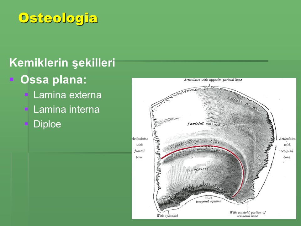 Osteologia Kemiklerin şekilleri Ossa plana: Lamina externa