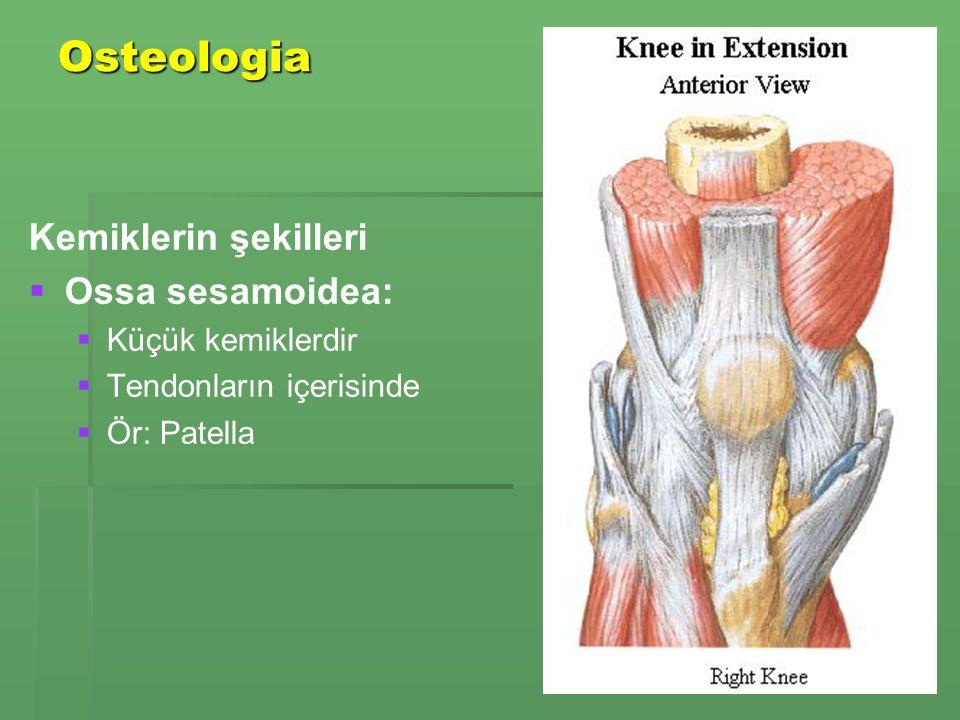 Osteologia Kemiklerin şekilleri Ossa sesamoidea: Küçük kemiklerdir
