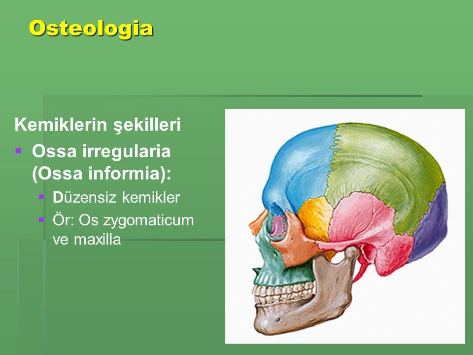 Osteologia Kemiklerin şekilleri Ossa irregularia (Ossa informia):