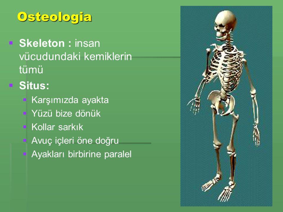 Osteologia Skeleton : insan vücudundaki kemiklerin tümü Situs:
