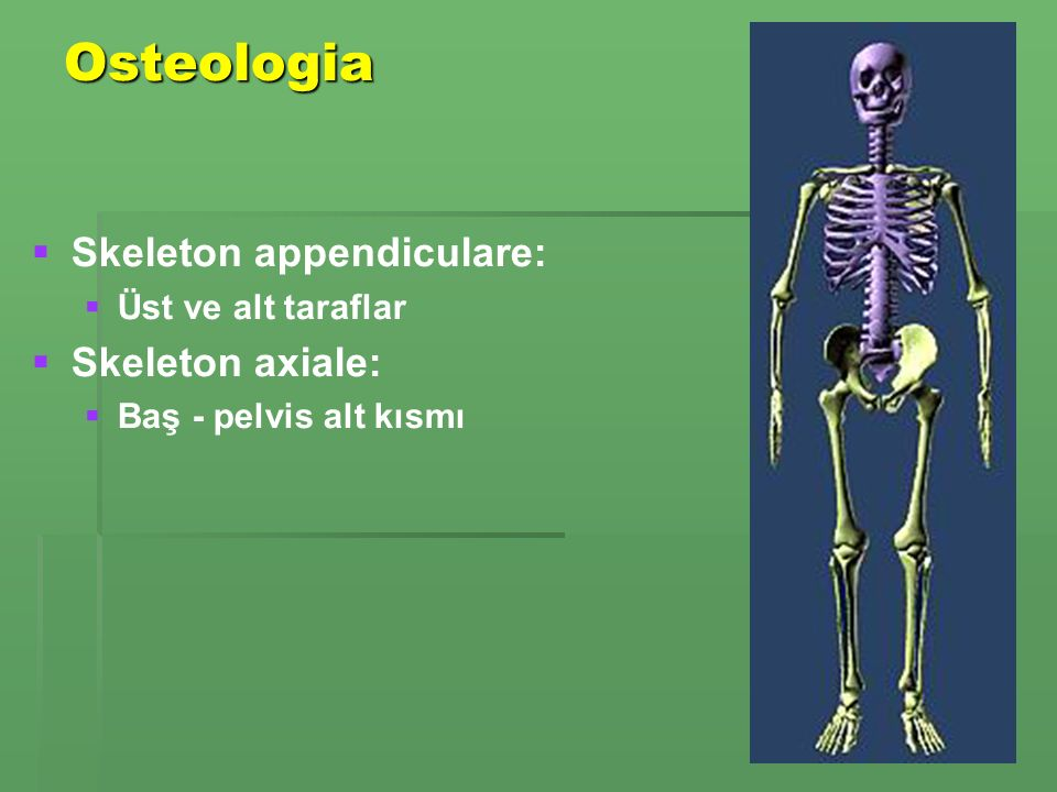 Osteologia Skeleton appendiculare: Skeleton axiale: