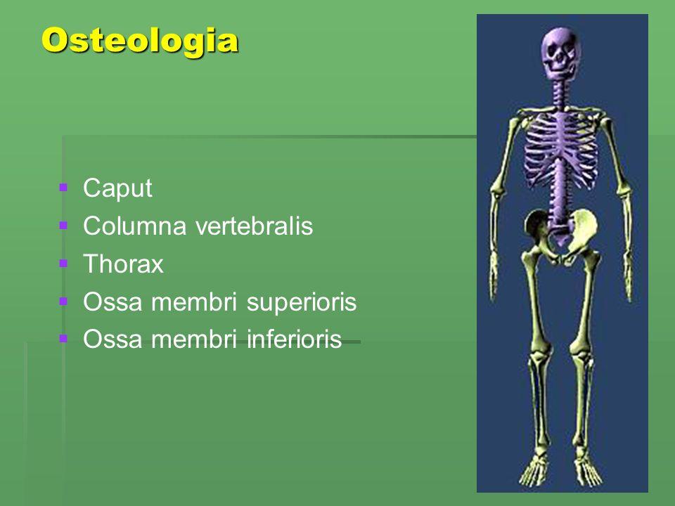 Osteologia Caput Columna vertebralis Thorax Ossa membri superioris