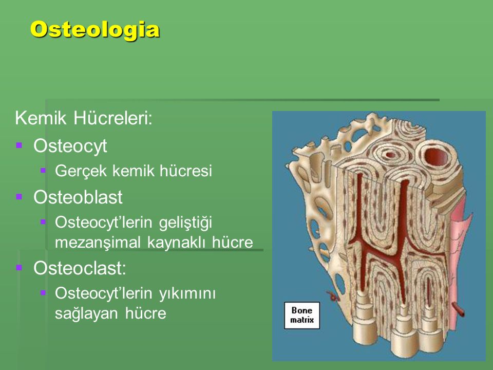 Osteologia Kemik Hücreleri: Osteocyt Osteoblast Osteoclast: