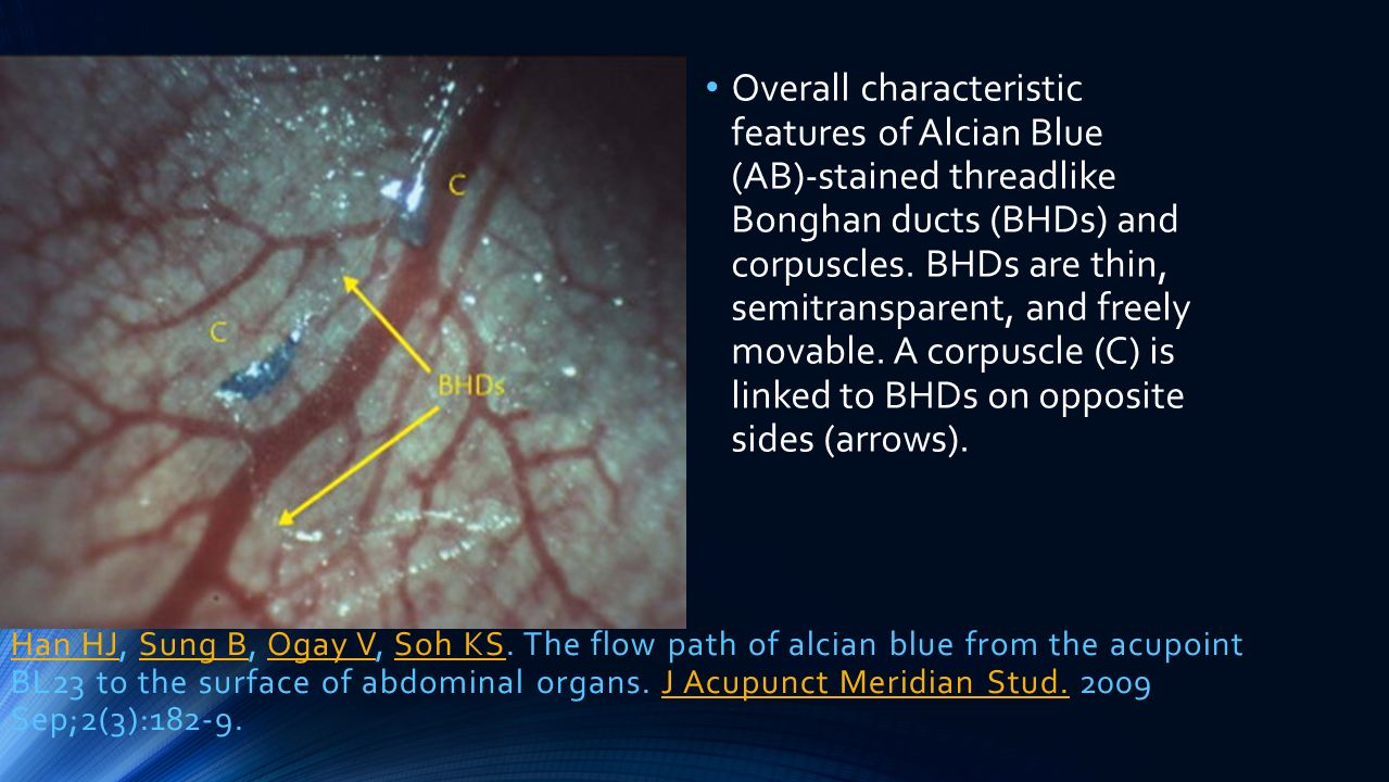 Overall characteristic features of Alcian Blue (AB)-stained threadlike Bonghan ducts (BHDs) and corpuscles. BHDs are thin, semitransparent, and freely movable. A corpuscle (C) is linked to BHDs on opposite sides (arrows).