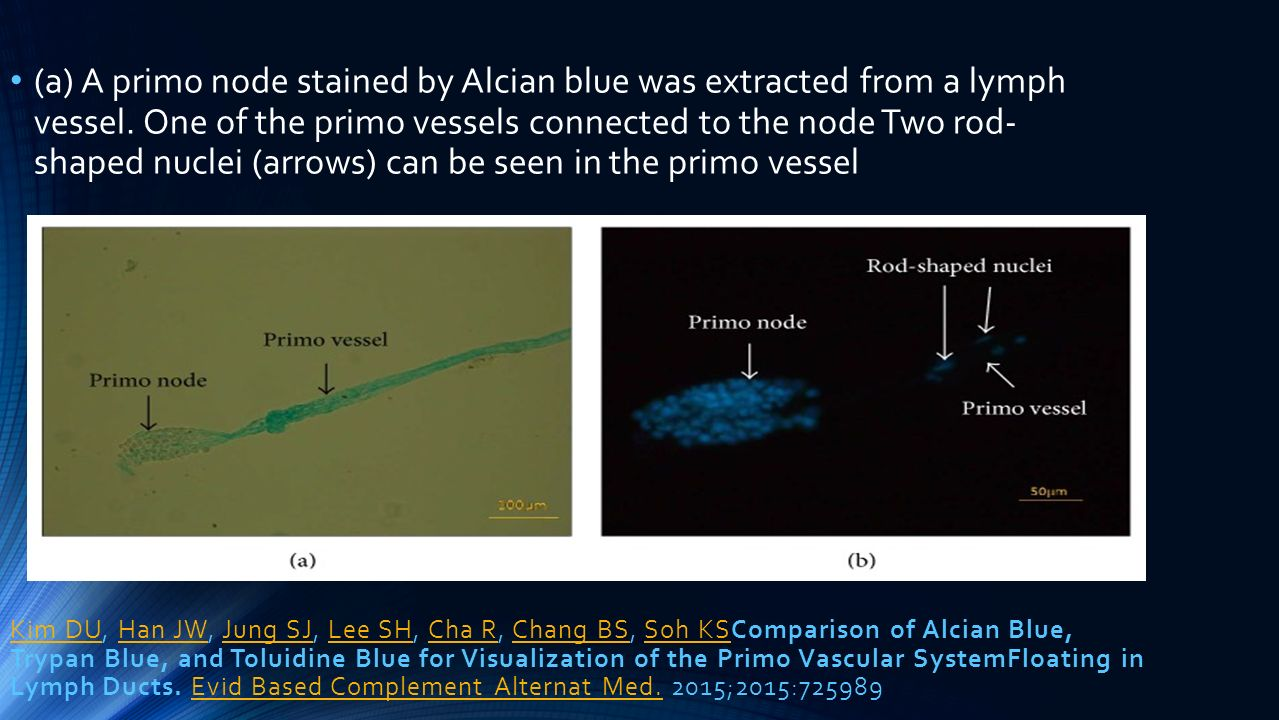 (a) A primo node stained by Alcian blue was extracted from a lymph vessel. One of the primo vessels connected to the node Two rod- shaped nuclei (arrows) can be seen in the primo vessel