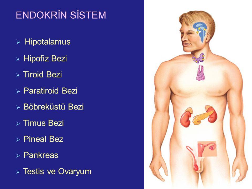 ENDOKRİN SİSTEM Hipotalamus Hipofiz Bezi Tiroid Bezi Paratiroid Bezi