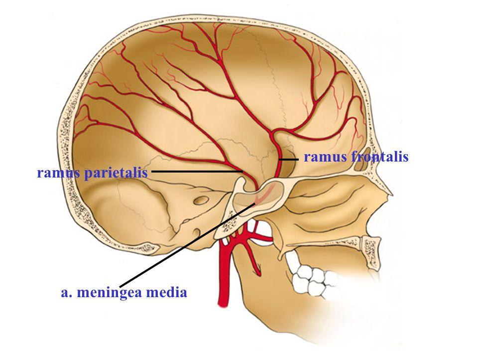 ramus frontalis ramus parietalis a. meningea media