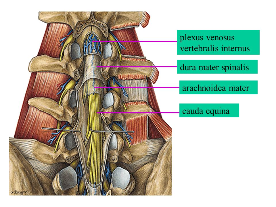 plexus venosus vertebralis internus