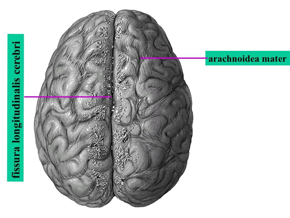 fissura longitudinalis cerebri