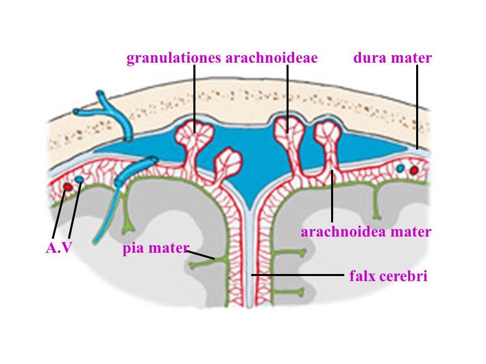 granulationes arachnoideae