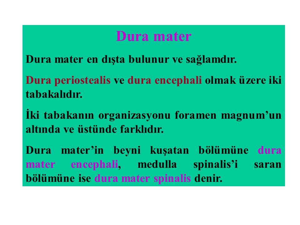 Dura mater Dura mater en dışta bulunur ve sağlamdır.