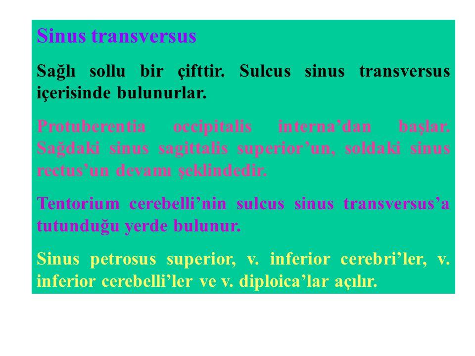 Sinus transversus Sağlı sollu bir çifttir. Sulcus sinus transversus içerisinde bulunurlar.