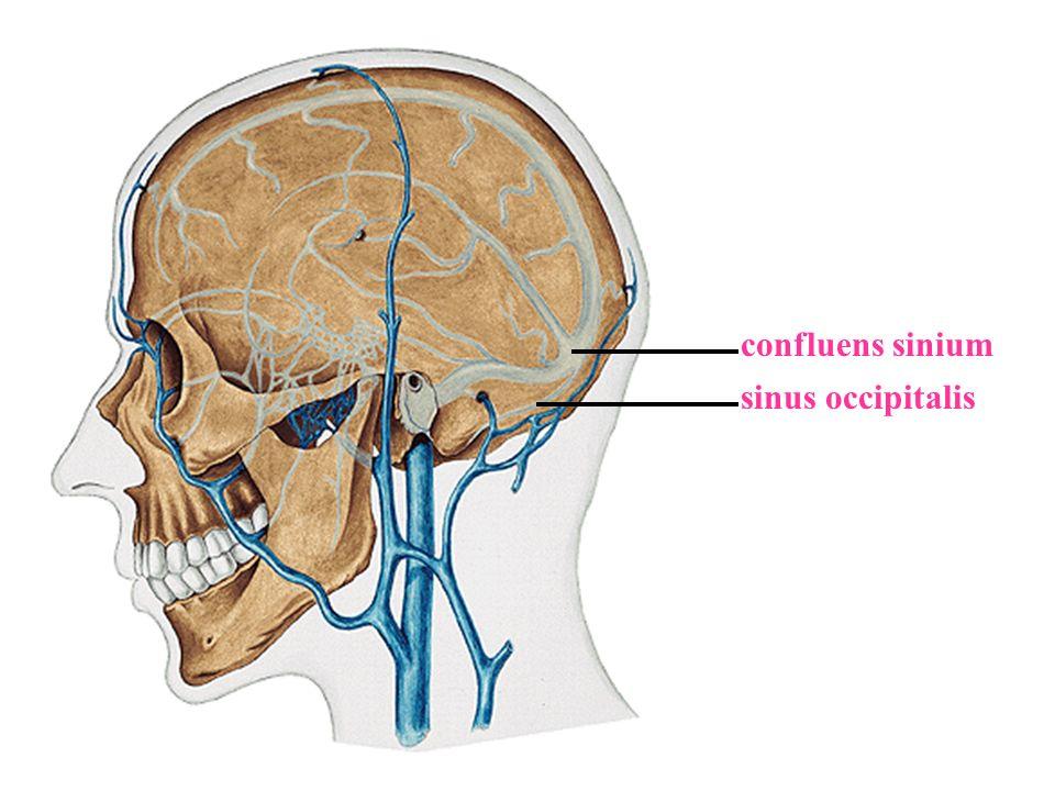 confluens sinium sinus occipitalis