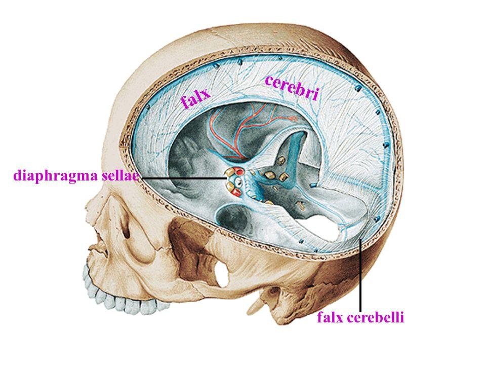 cerebri falx diaphragma sellae falx cerebelli