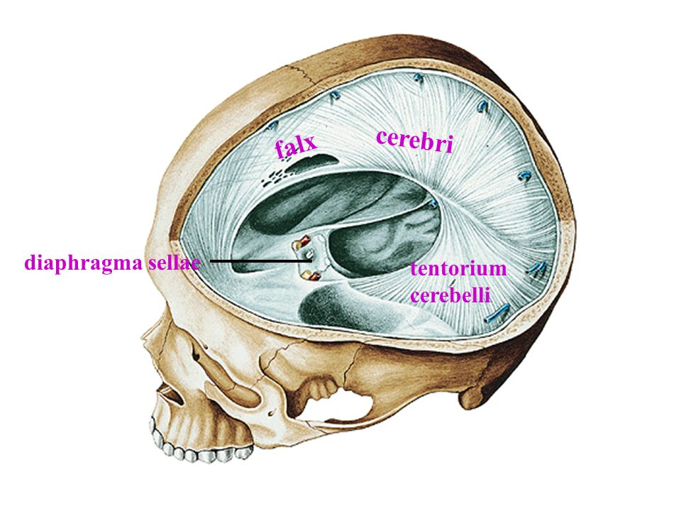 cerebri falx diaphragma sellae tentorium cerebelli