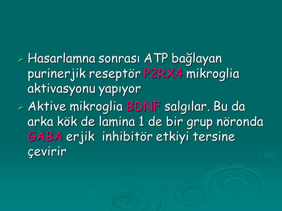 Hasarlamna sonrası ATP bağlayan purinerjik reseptör P2RX4 mikroglia aktivasyonu yapıyor