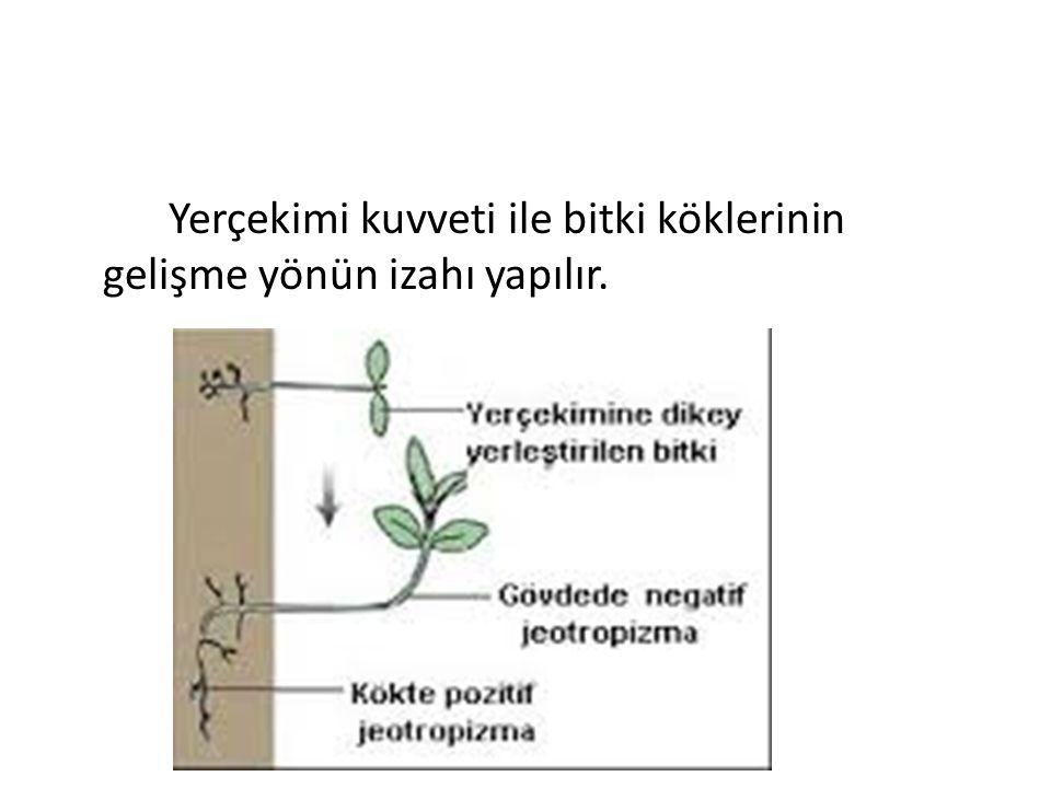 Yerçekimi kuvveti ile bitki köklerinin gelişme yönün izahı yapılır.