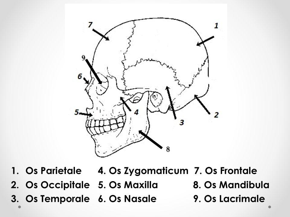 Os Parietale 4. Os Zygomaticum 7. Os Frontale