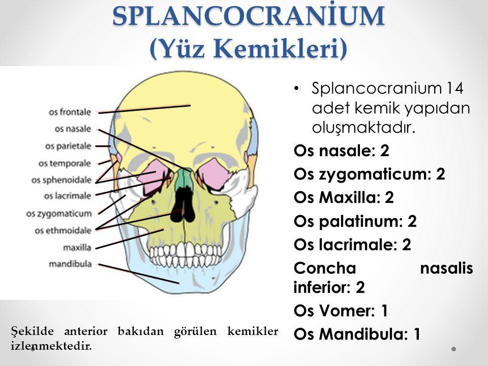 SPLANCOCRANİUM (Yüz Kemikleri)