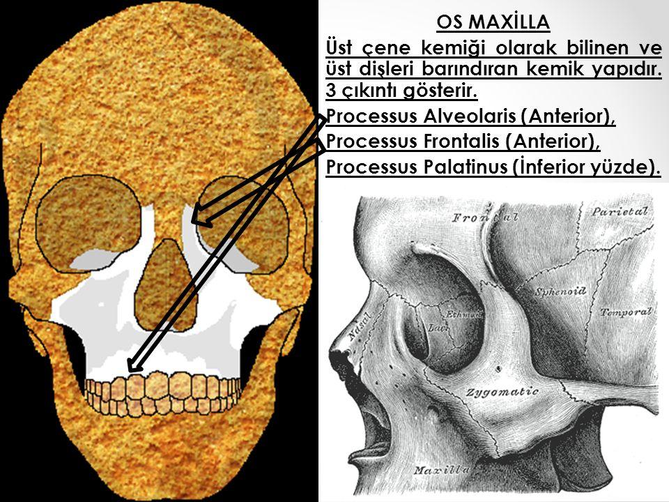OS MAXİLLA Üst çene kemiği olarak bilinen ve üst dişleri barındıran kemik yapıdır.