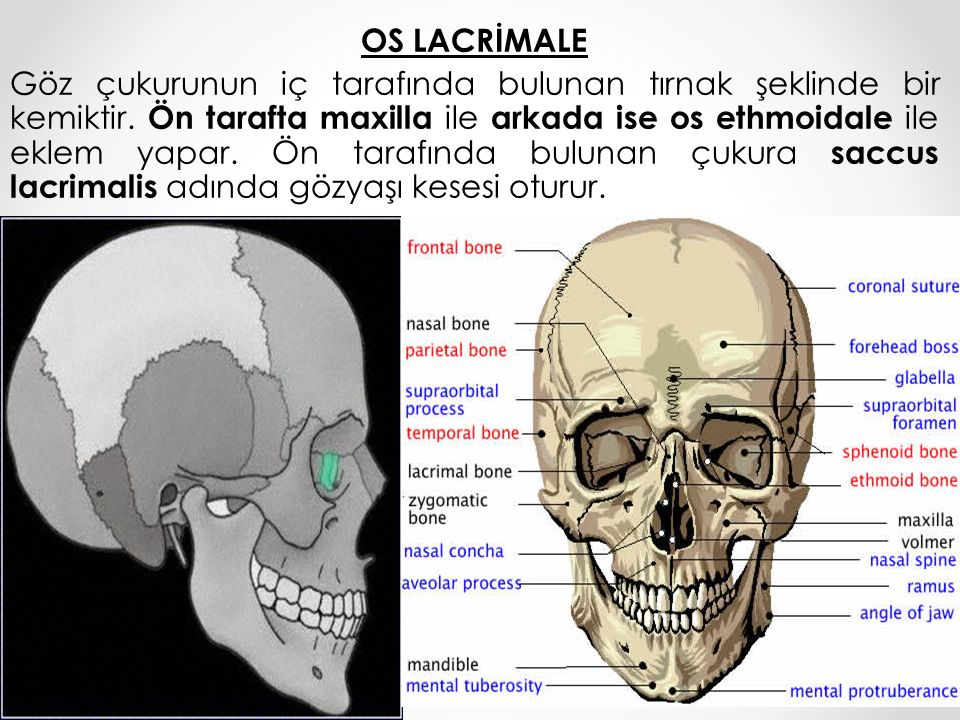 OS LACRİMALE Göz çukurunun iç tarafında bulunan tırnak şeklinde bir kemiktir.