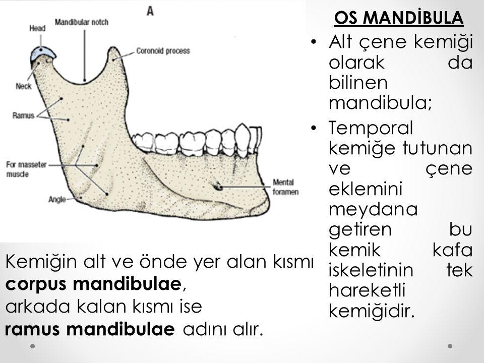 Alt çene kemiği olarak da bilinen mandibula;