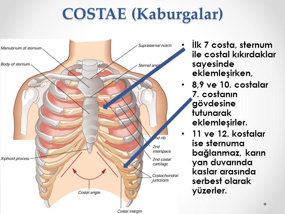 COSTAE (Kaburgalar) İlk 7 costa, sternum ile costal kıkırdaklar sayesinde eklemleşirken,