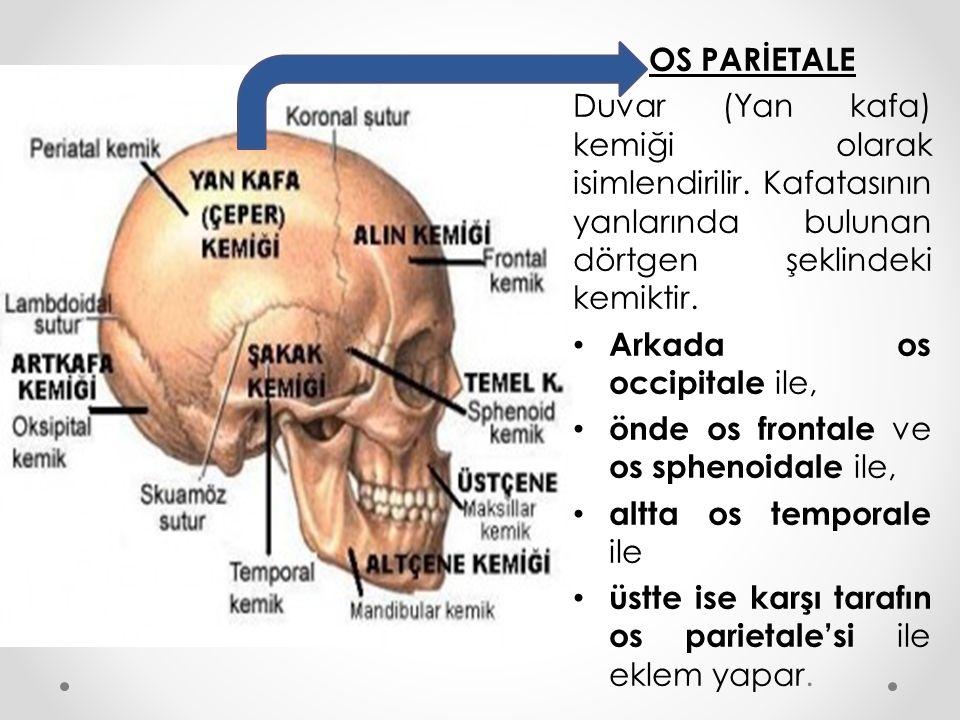 OS PARİETALE Duvar (Yan kafa) kemiği olarak isimlendirilir. Kafatasının yanlarında bulunan dörtgen şeklindeki kemiktir.