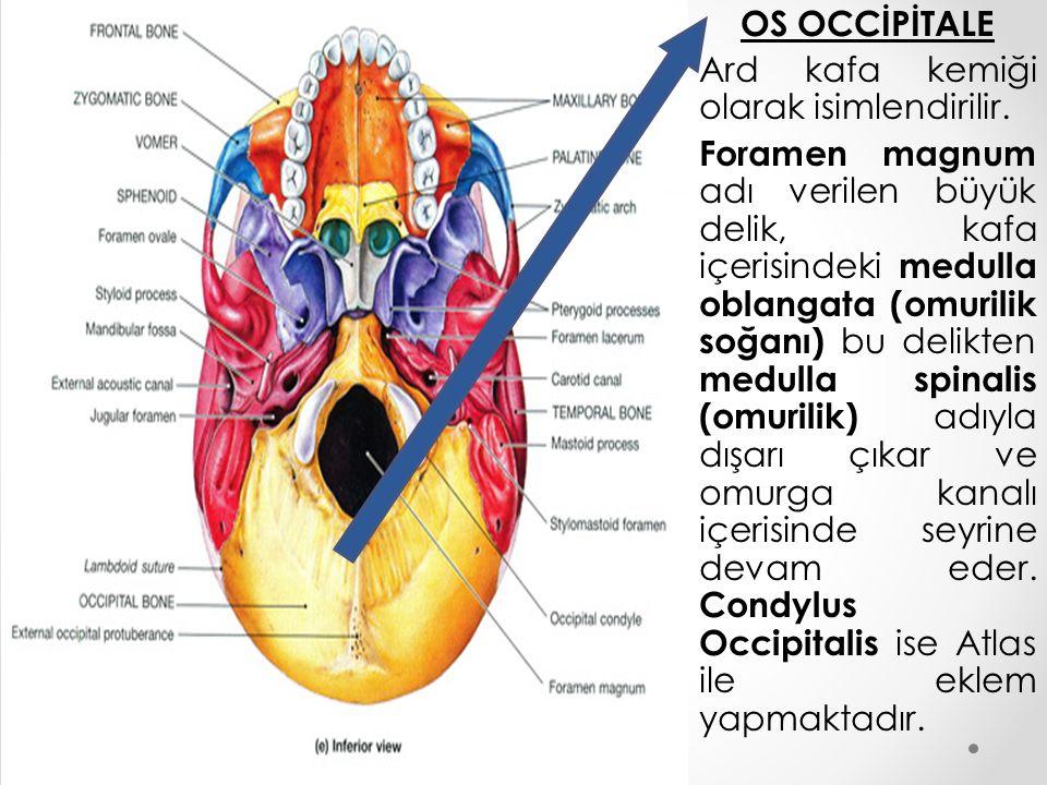 OS OCCİPİTALE Ard kafa kemiği olarak isimlendirilir