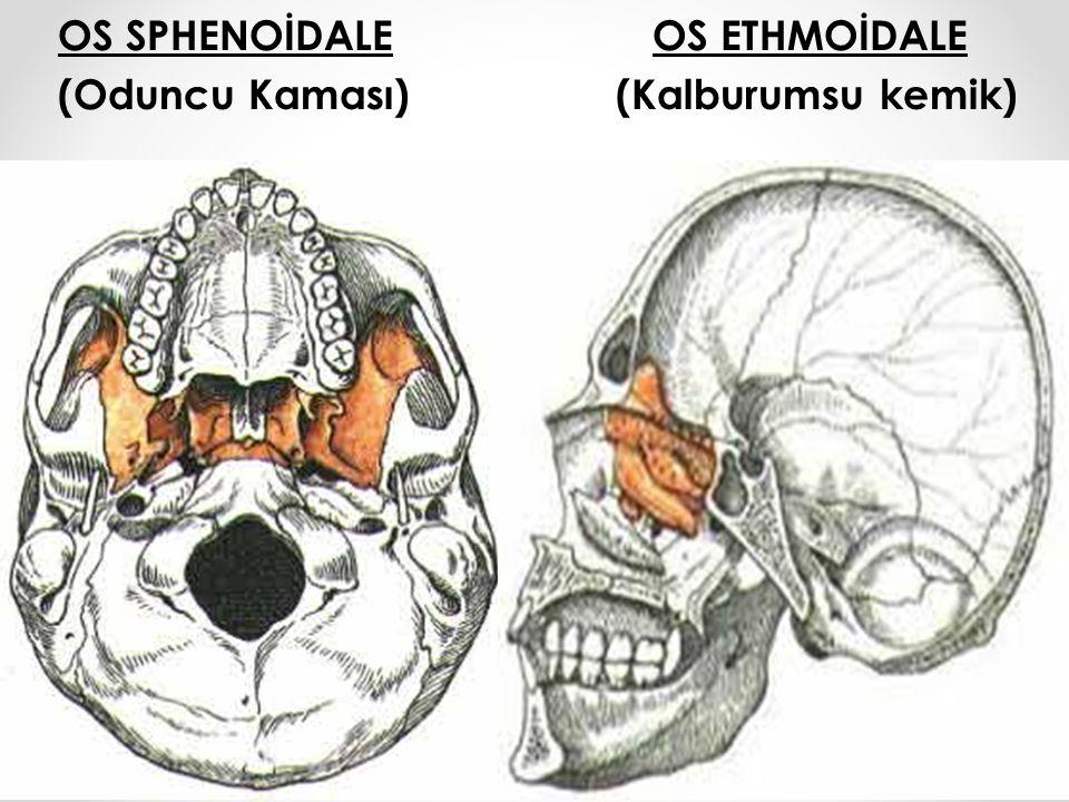 OS SPHENOİDALE OS ETHMOİDALE (Oduncu Kaması) (Kalburumsu kemik)