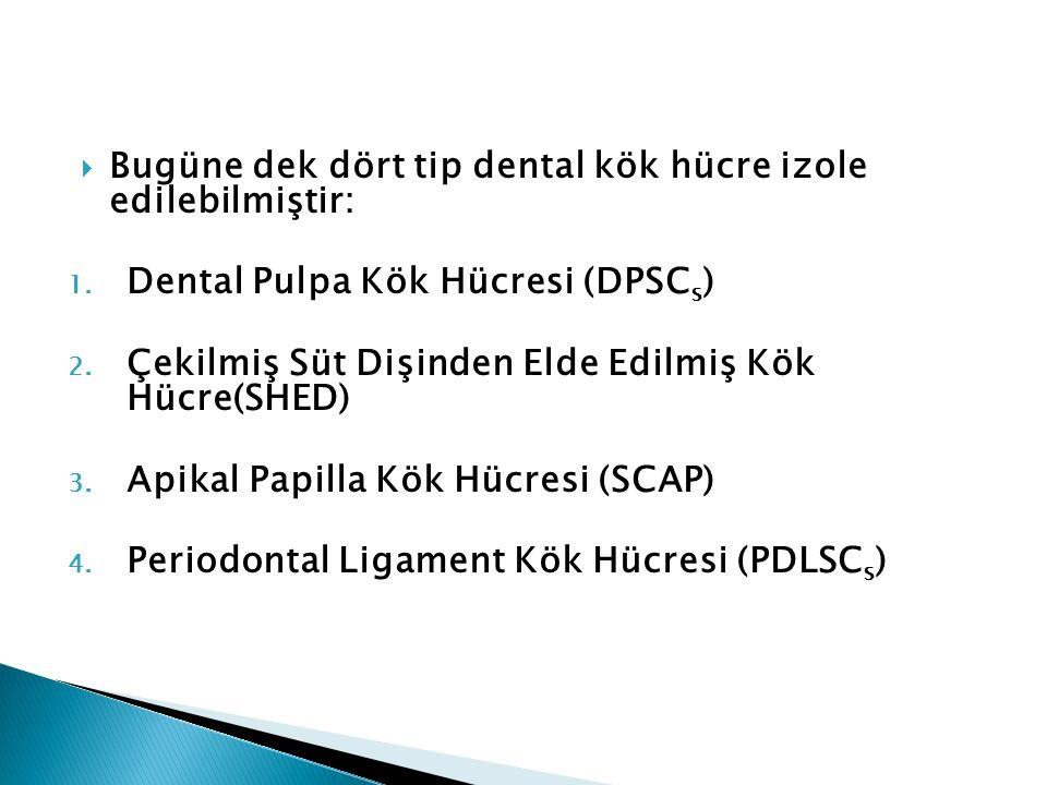 Bugüne dek dört tip dental kök hücre izole edilebilmiştir: