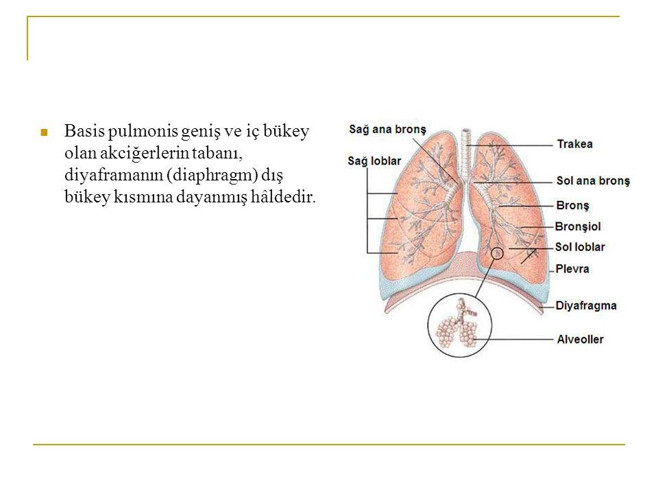 Basis pulmonis geniş ve iç bükey olan akciğerlerin tabanı, diyaframanın (diaphragm) dış bükey kısmına dayanmış hâldedir.